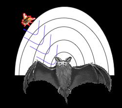 Fledermaus Orientierung